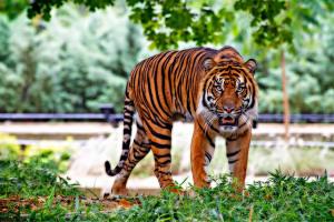 sumatran-tiger-518771_640 (1)